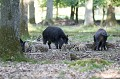 Wild sow and young wild boars