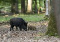 Wild sow and young wild boar